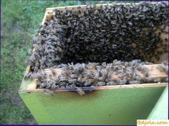 How to remove a swarm of bees