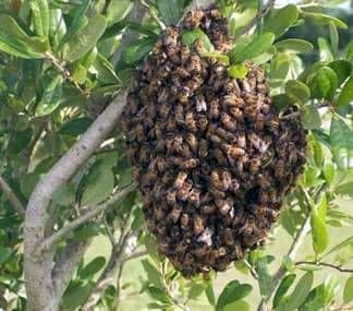 Reproduction of bee colonies