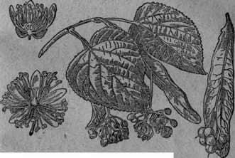 Wood and shrub melliferous plants