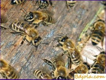 Honeys digestibility by bees