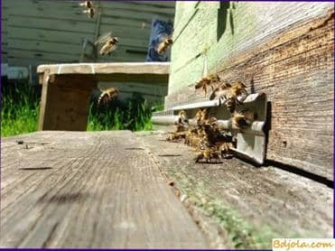 Protein feeding of bees