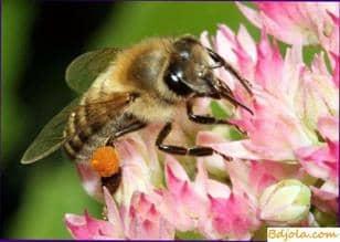 Pollen in folk medicine