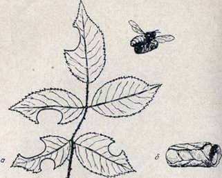 Bees   leaf cutters
