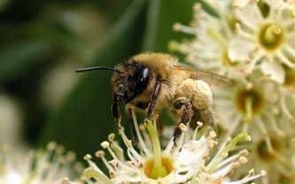 Bezalaceous bees of melipon