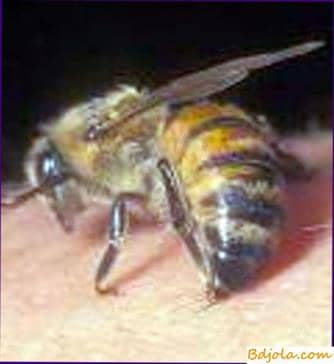 Bee venom in medicine