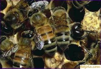 Bee venom in folk medicine