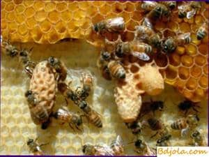 Use of royal jelly