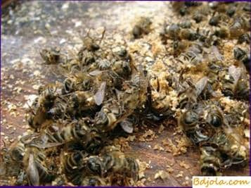 Rickettsiosis of bees