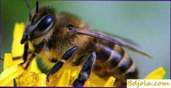 Protein dystrophy of bees