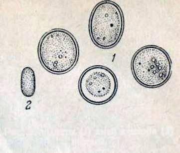 Amoebiasis of bees