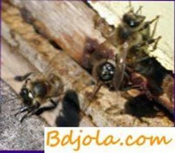Ascosferosis of bees