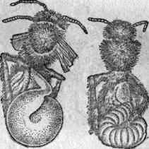 Diseases of adult bees