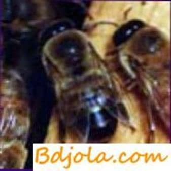 Pademic toxicosis of bees