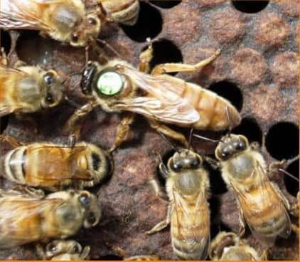 Breeding work on the withdrawal of queens