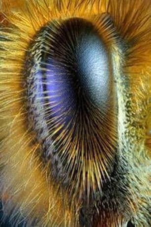 Nervous system, sense organs and behavior of bees