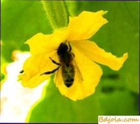 Cucumber honey