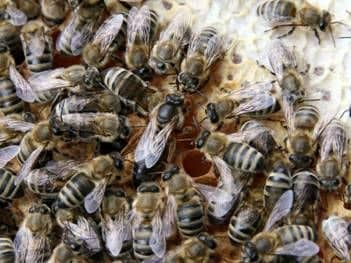 The bee family and its composition