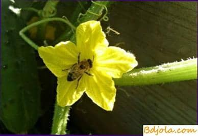 Use of bees for pollination of vegetable crops in greenhouses