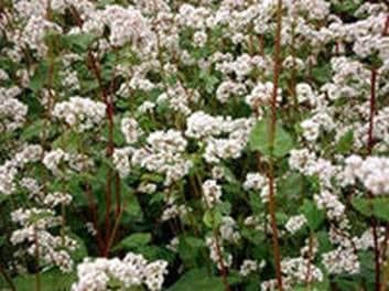 Collect honey and pollen from buckwheat