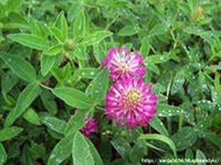 Collect honey and pollen from clover