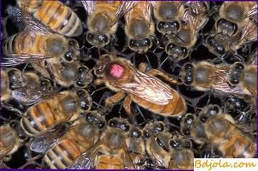 The ratio of bees to the uterus and brood