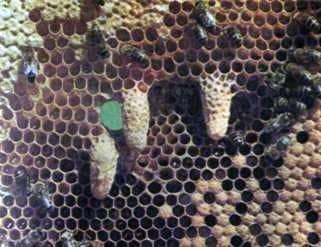 Distribution of work in the bee hive
