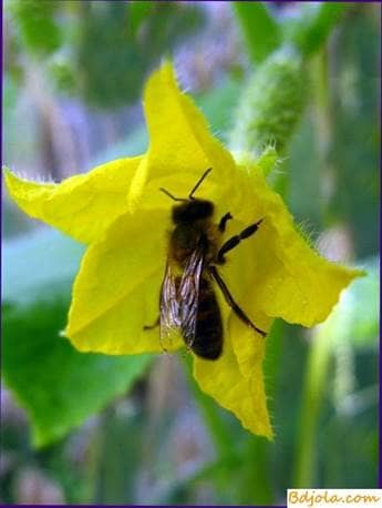 Pollination by bees of cucumbers in the greenhouse