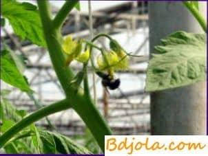 Polinización por abejas de tomates