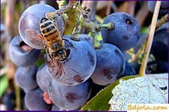 Alimentando abejas melaza