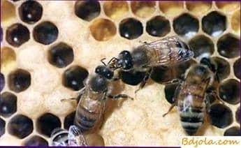 Alimentación especial de las abejas reinas