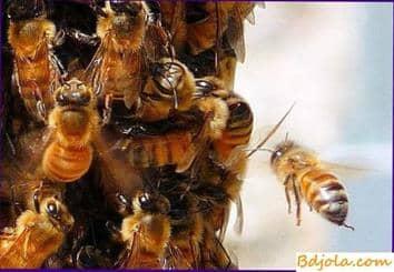 Alimentando abejas con mezcla de miel y pera