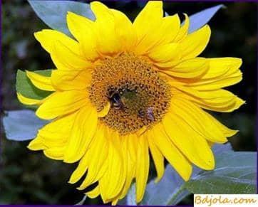Buscar comida por las abejas