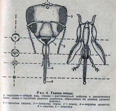 Funciones de la probóscide y los escarabajos de miel de la abeja