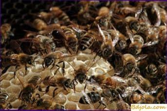Procesamiento de néctar en la miel