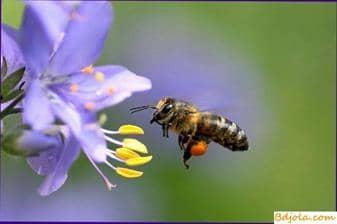 Limpieza de néctar del polen por las abejas