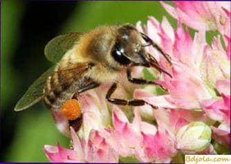 Colección de néctar y polen
