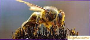 Uso de polen por las abejas