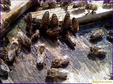 Las abejas beben agua