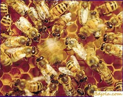 Baile de abejas en panal