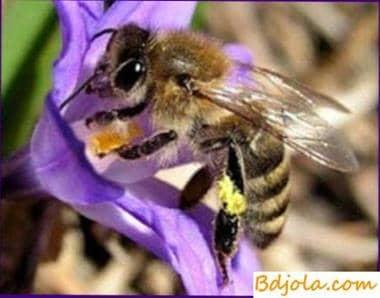Dónde conseguir las abejas