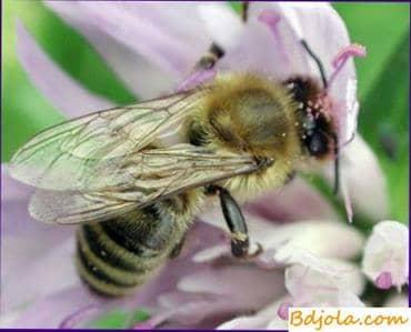 Insectos amantes de la paz de las abejas
