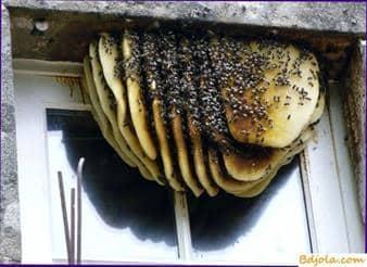 Olores de un nido de abeja