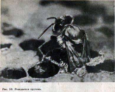Abejones de una familia de abejas