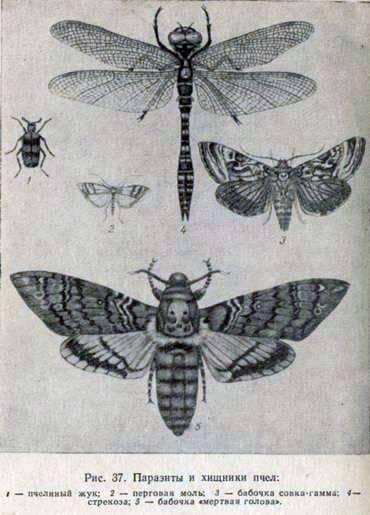 Mariposa cabeza muerta