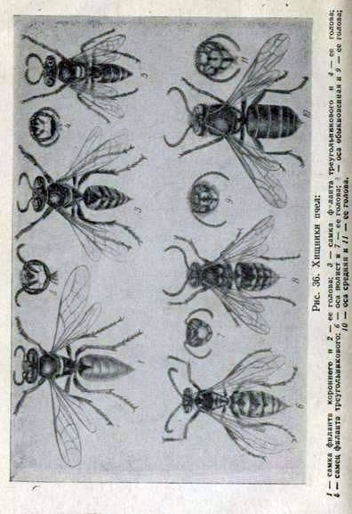 El filántropo o el lobo de las abejas