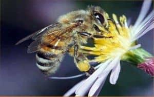 Raza de abeja del Lejano Oriente