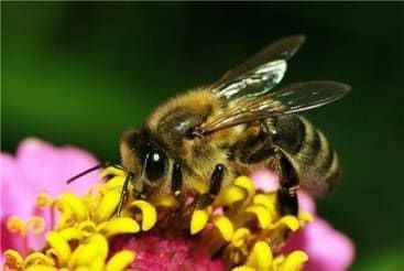 Especies y razas de abejas