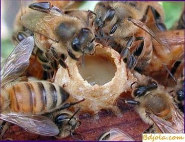 El equilibrio de cera del apiario