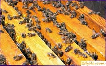 Obteniendo veneno de abeja
