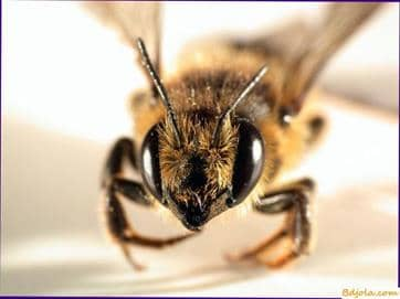 Veneno de abeja en la homeopatía